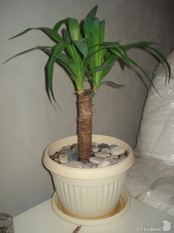 домашняя пальма фото и названия