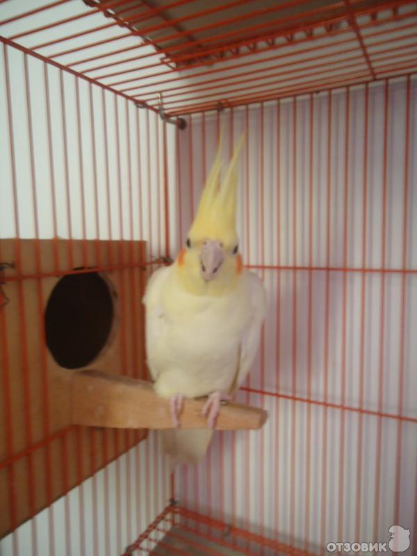 Попугай Жако: содержание в домашних условиях 88