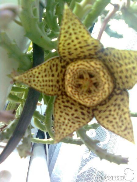 Звёздочка цветы