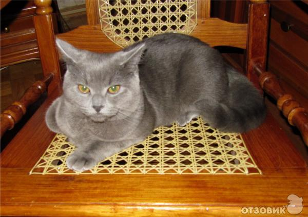 Кот британец дом