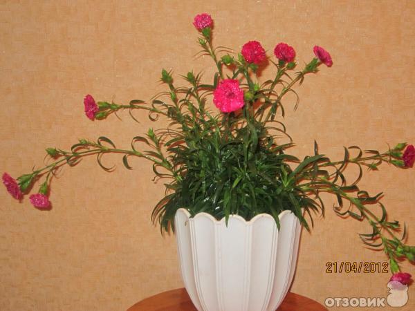 Гвоздика комнатная выращивание 22