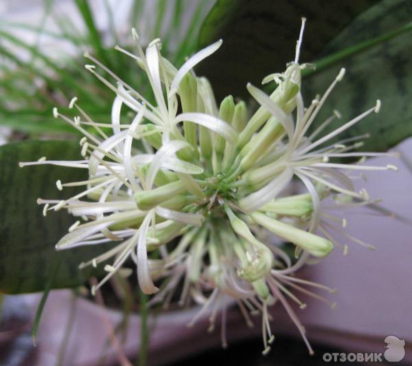 Цветы комнатные ливинстона уход за