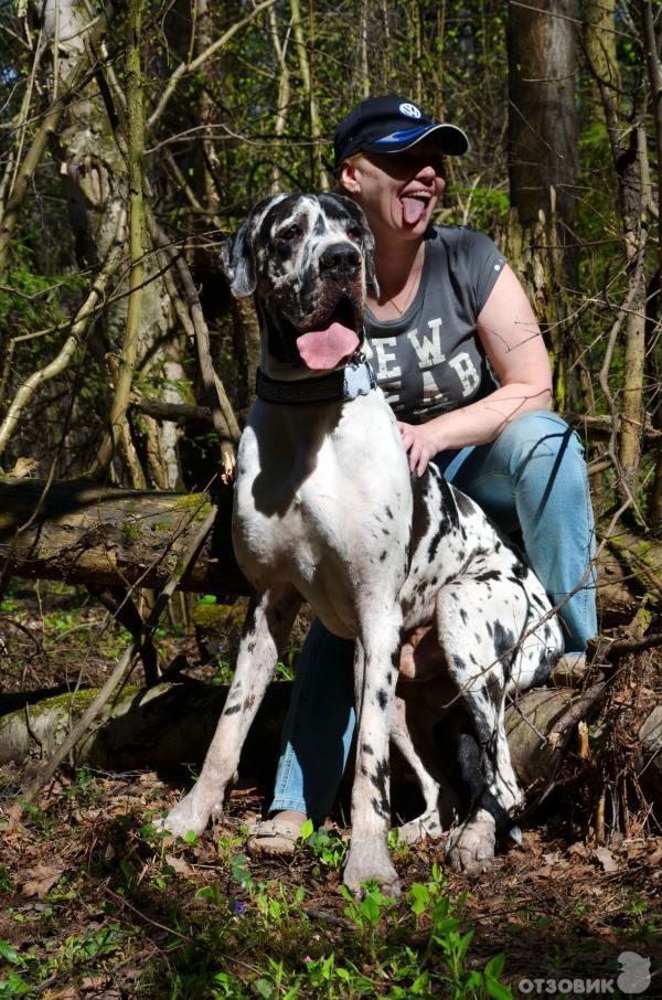 Немецкий дог | Породы собак | Животные и породы