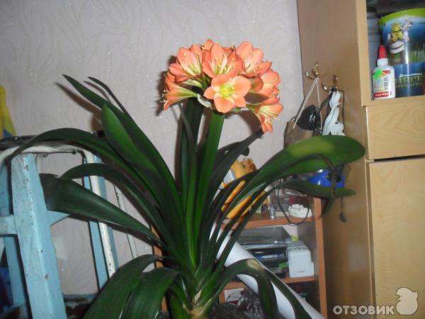 кливия комнатный цветок фото