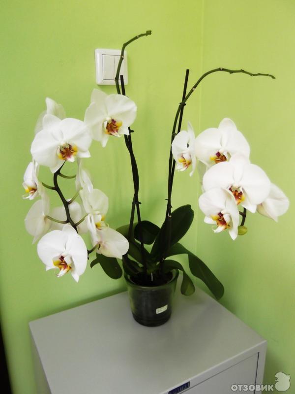 Паста Для Орхидей Цитокининовая Инструкция - фото 8