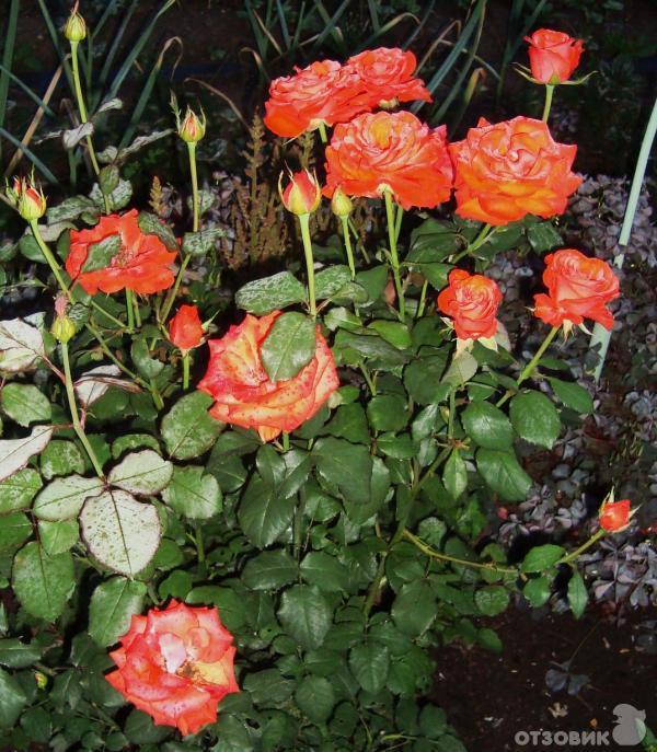 Уход за уральскими розами