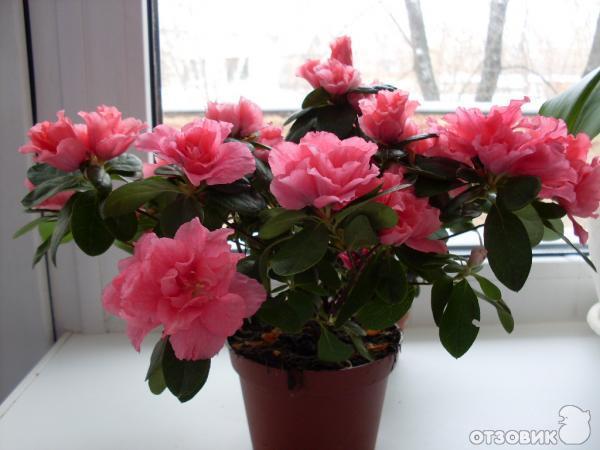 Комнатные цветы азалия фото