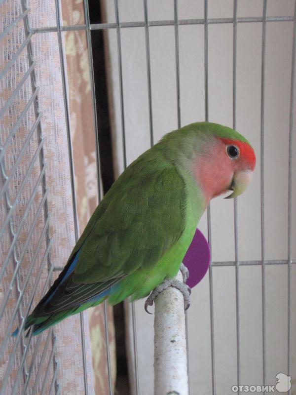Сколько живут неразлучники попугаи в домашних условиях 237
