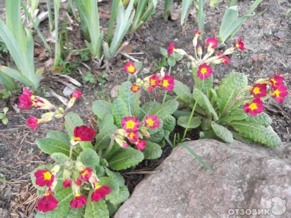 Как сажать первоцветы 37