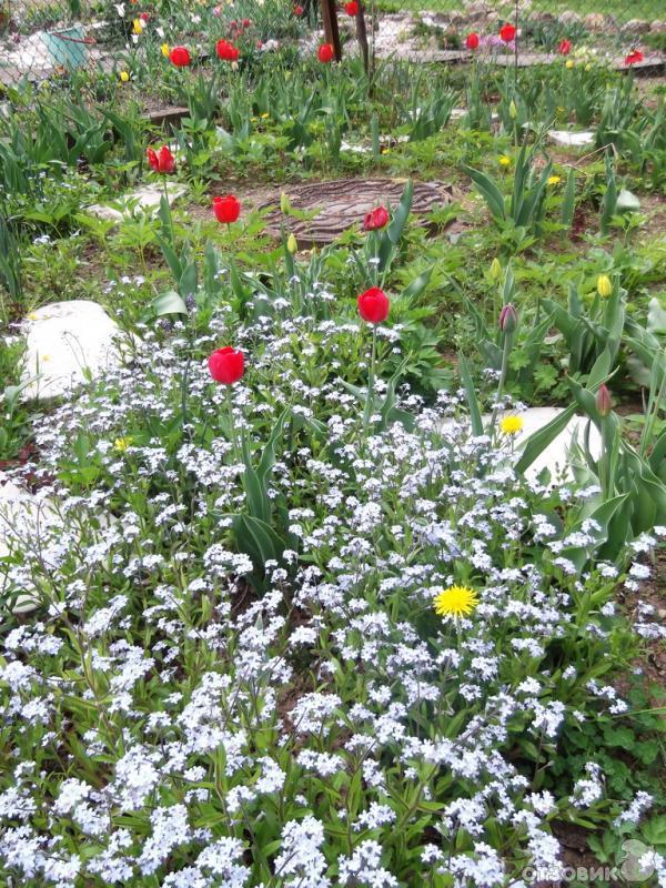 незабудка садовая