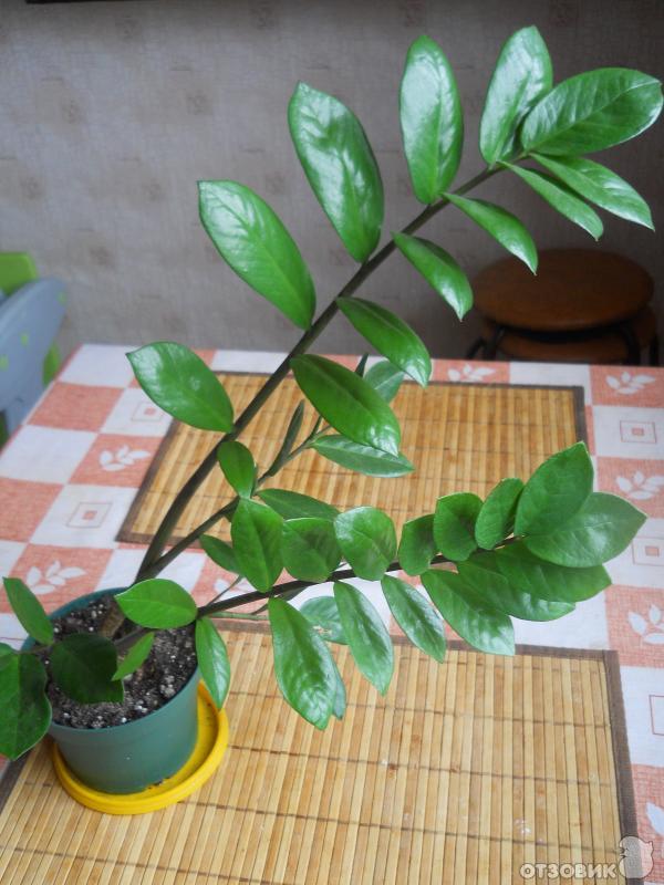 Цветок с блестящими зелеными листьями фото