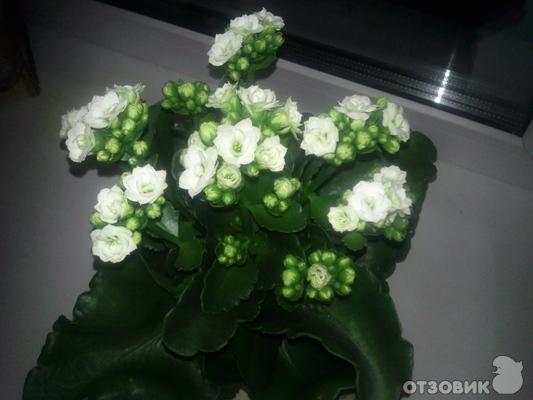 Цветок в горшке белый