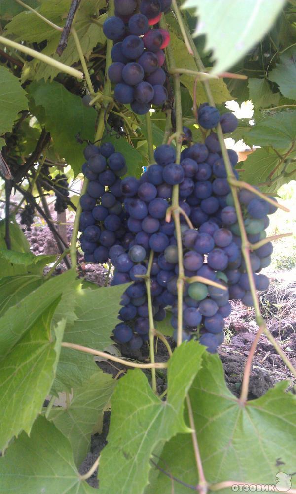 Отзывы по выращиванию винограда 82