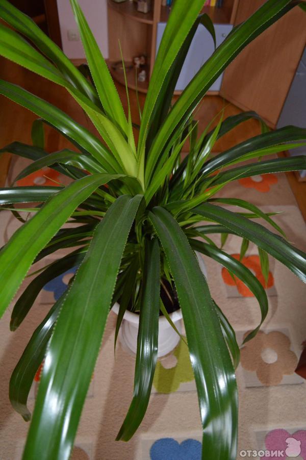 Комнатные растения с длинными листьями и с одним цветком