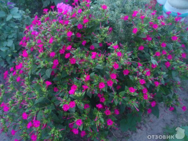 Ночная красавица выращивание из семян 68