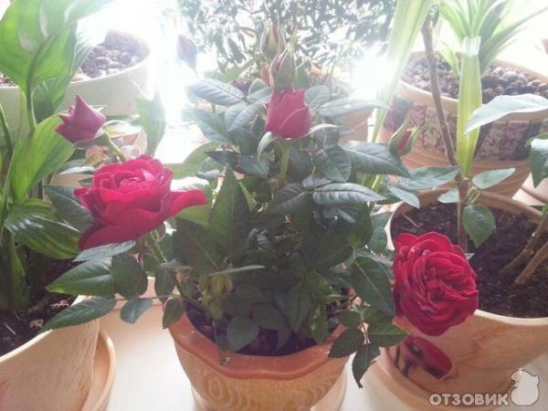 Низкорослые комнатные цветы и