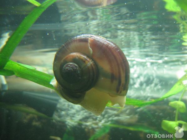 домашних условиях аквариум для водных улиток формула обращения: