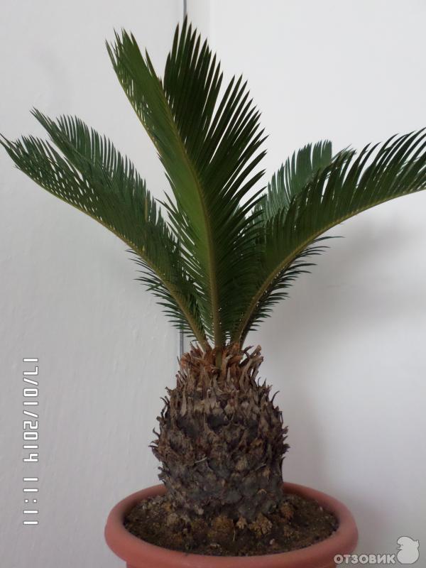 фото цветок домашний пальма