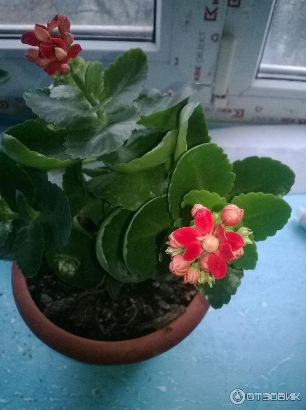 Фото каланхоэ когда цветут комнатные цветы