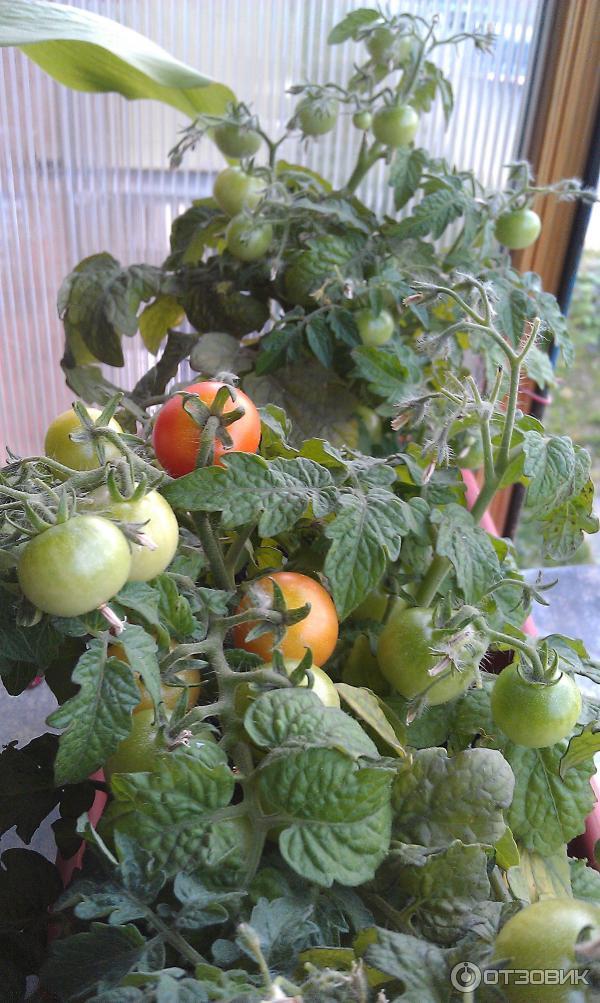 """Отзыв о низкорослый томат """"балконное чудо"""" мини огород на ба."""
