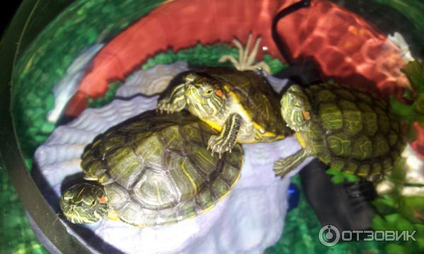 Чем мыть красноухую черепаху в домашних условиях 269