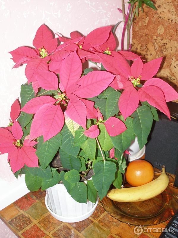 Комнатные цветы пуансетия и уход за ними