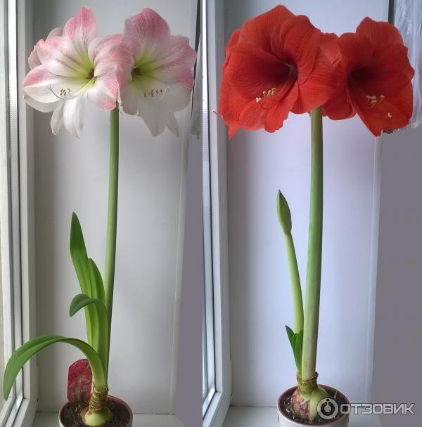 Цветок амариллис и гиппеаструм