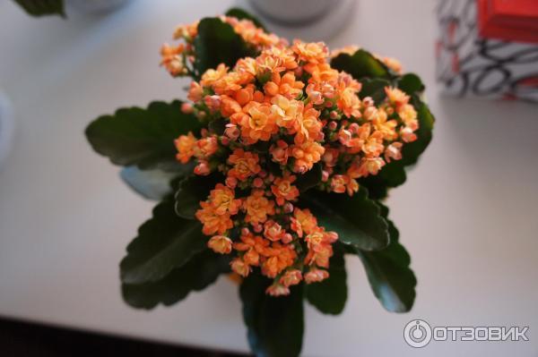 Розалина цветок что это