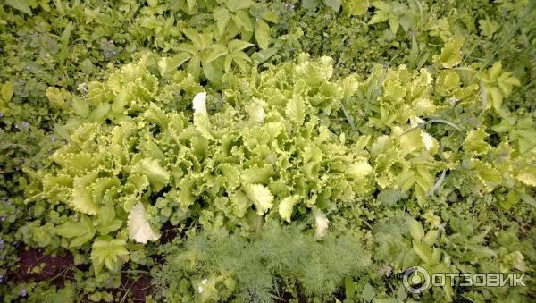 Салат соната выращивание 73