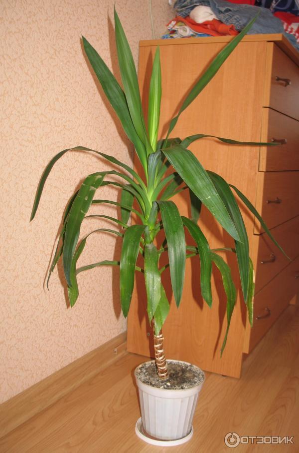 Пальма юкка : выращивание и уход. Особенности ухода за пальмой юкка