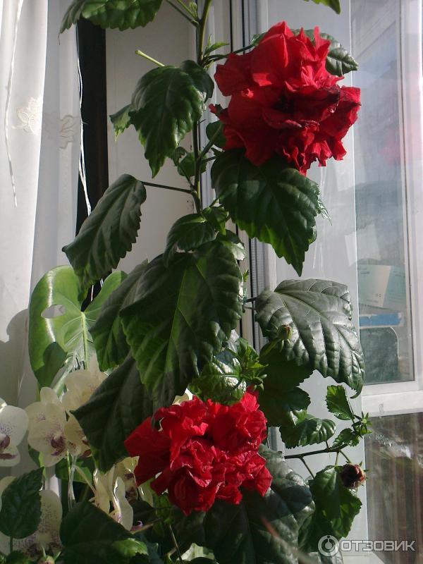 Комнатный цветок гибискус виды 29