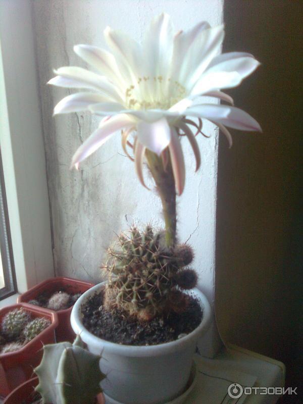 Комнатные растения кактусы