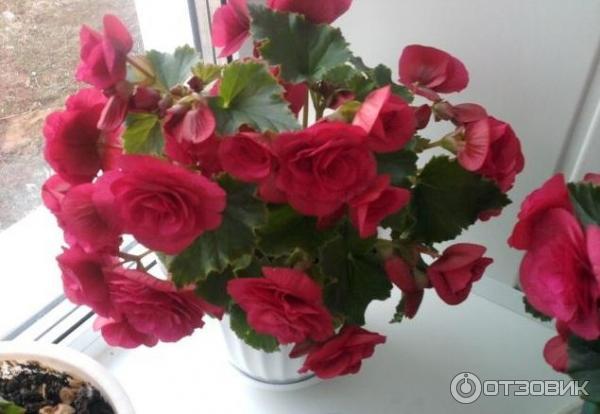 Домашние цветущие цветы круглый год