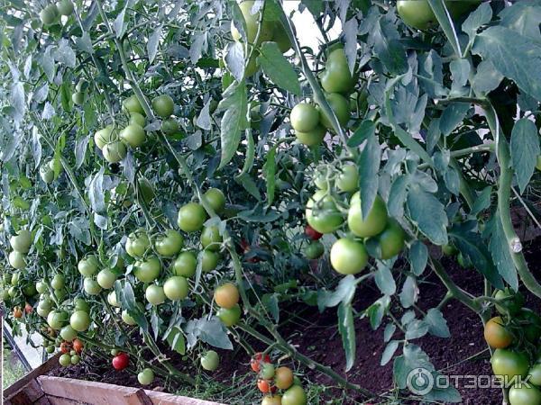 касамори f1 помидоры