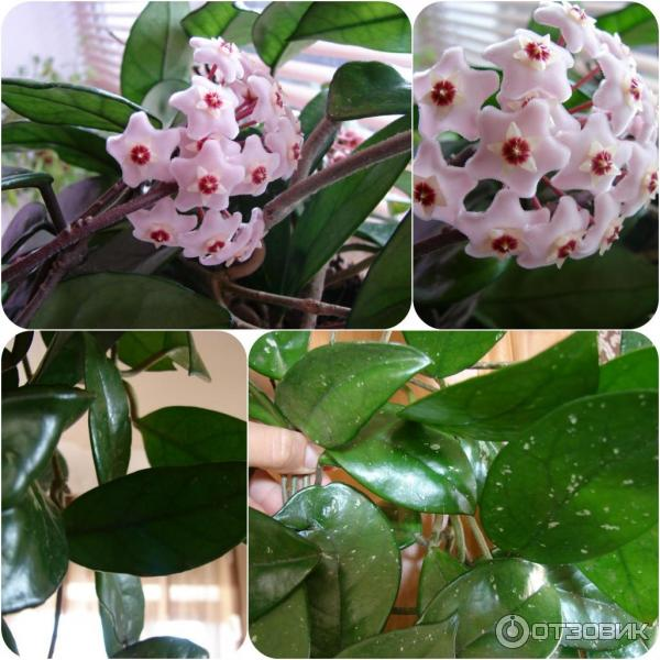 цветок восковой плющ