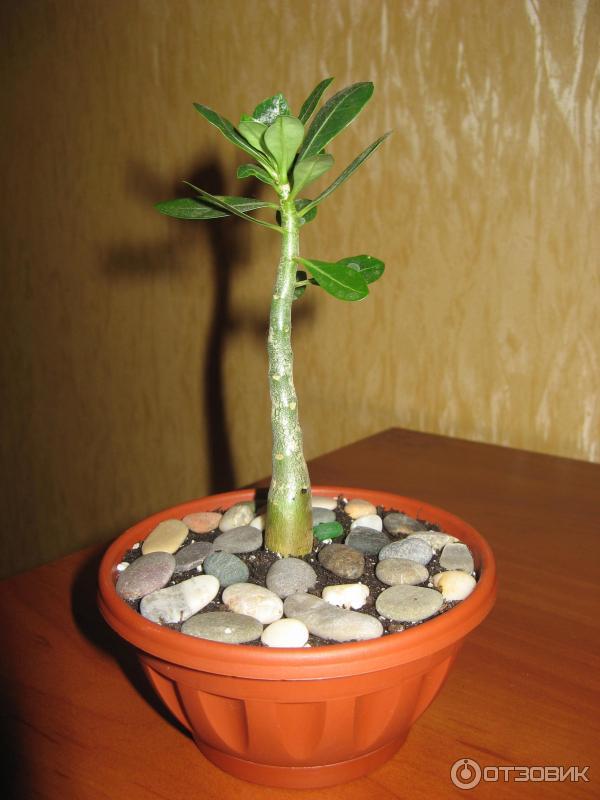 Цветы адениум: фото, описание, уход в домашних