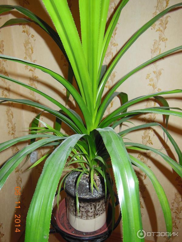 Пальма юкка в домашних условиях уход за ней 16