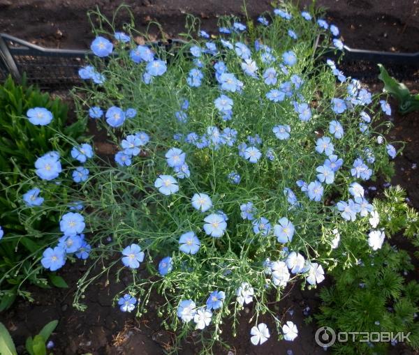 Цветы лен многолетний