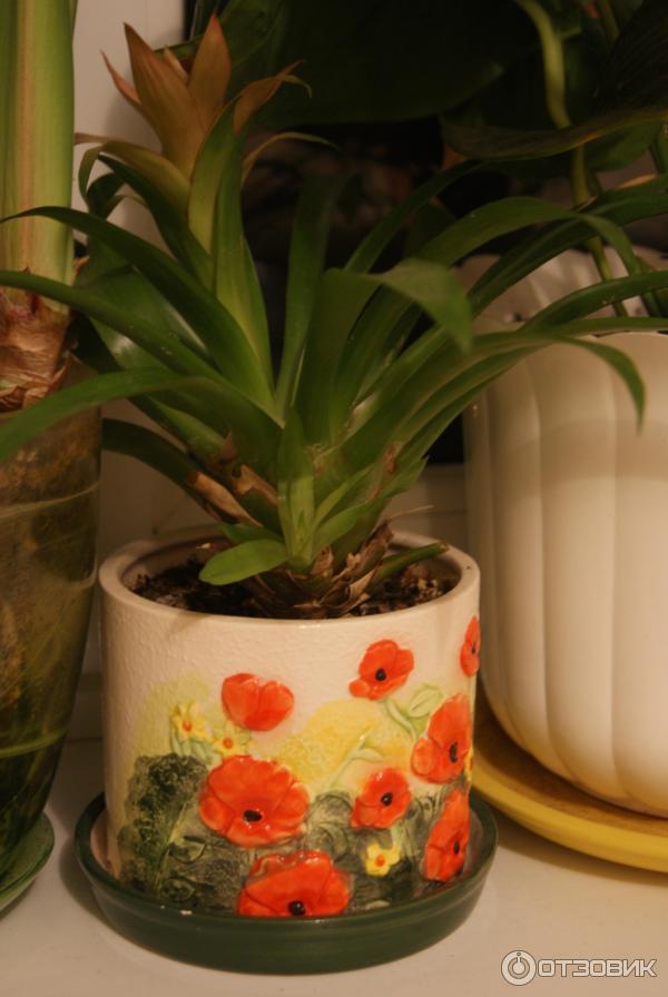 Уход за цветами в домашних условиях гузмания 175