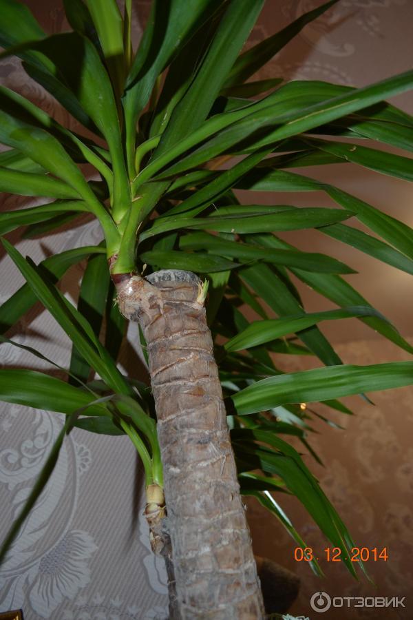 Фото цветок домашний похож на пальму из