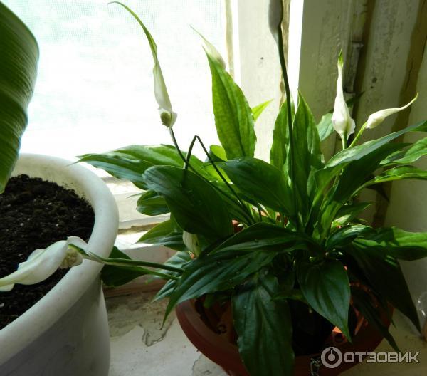 комнатное растение женское счастье