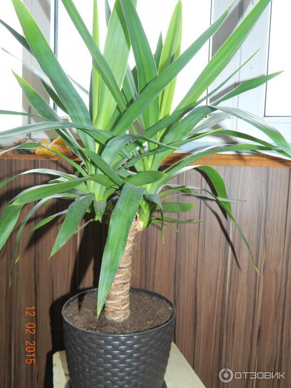 Пальма юкка выращивание и уход 5