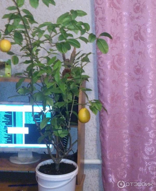 Лимонное дерево в домашних условиях 458
