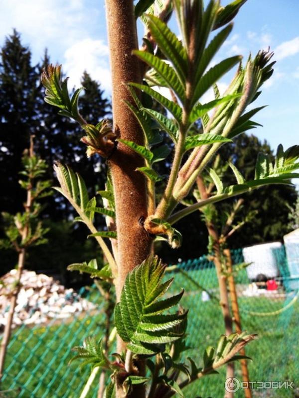 Растение сумах