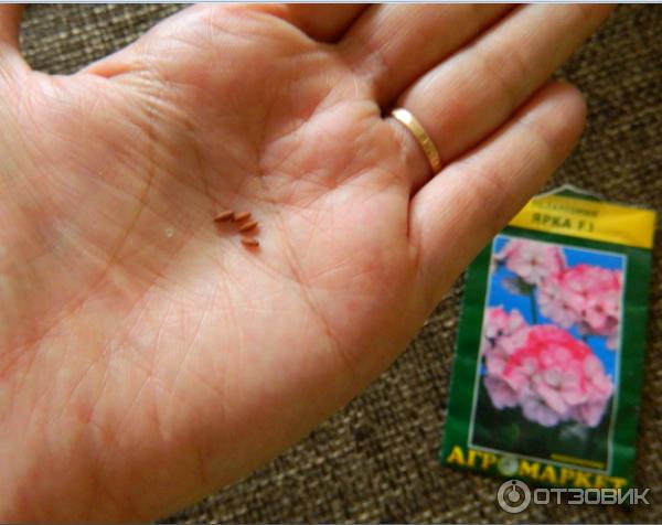 Как выглядит семена герани