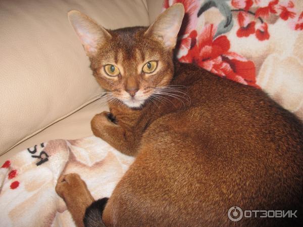 декоративные породы кошек с фото