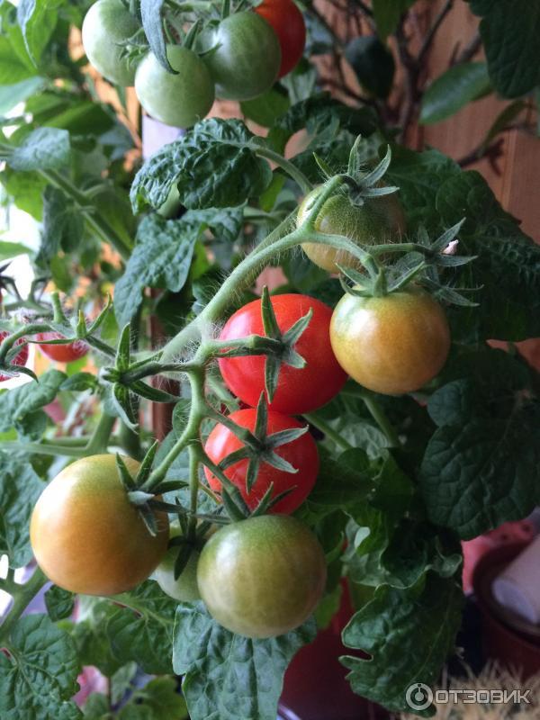 """Отзыв о семена томата гавриш """"бонсай"""" отличные помидоры для ."""