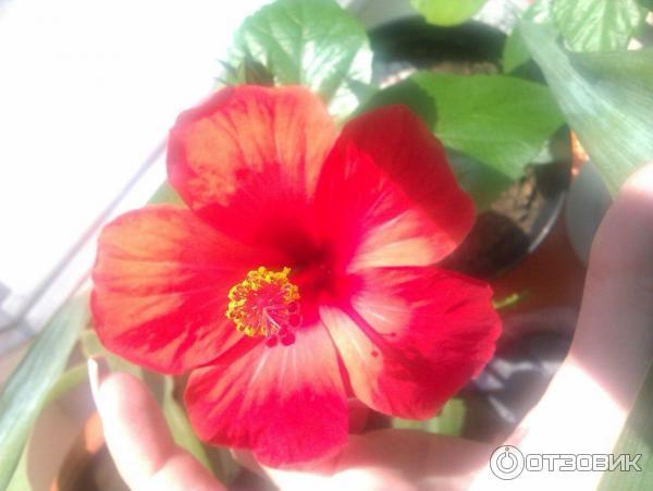 Комнатные цветы из китая фото