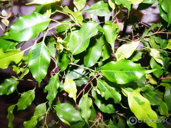 Как сделать блестящими листья у комнатных растений