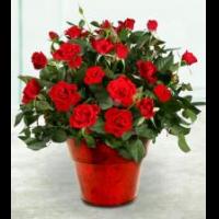 Цветок комнатный роза